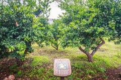 Mandarijn oranje boom in landbouwbedrijf Royalty-vrije Stock Afbeeldingen