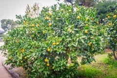 Mandarijn oranje boom in landbouwbedrijf Stock Foto's
