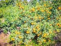 Mandarijn oranje fruit in boom Royalty-vrije Stock Foto's