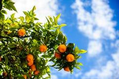 Mandarijnboom Stock Fotografie