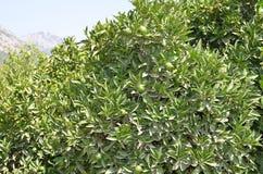 Mandarijnboomgaarden in Turkije in Juli Stock Afbeeldingen