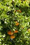 mandarijnen Royalty-vrije Stock Fotografie