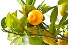 Mandarin Stock Photography
