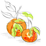 Mandarin. Colorful illustration of Mandarin with leaves Stock Photos
