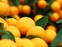 Mandarin Royaltyfri Foto