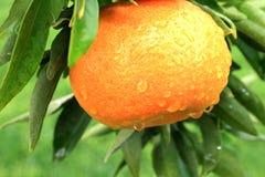 mandarin royaltyfri fotografi