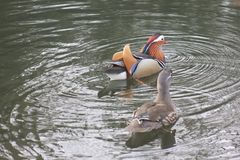 Mandarin birds swimming freely in the forest part. In Berlin national park Royalty Free Stock Images