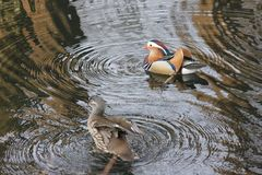 Mandarin birds swimming freely in the forest part. In Berlin national park Stock Image