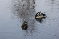 Mandarin birds swimming freely in the forest part. In Berlin national park Stock Photo