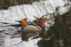 Mandarin birds swimming freely in the forest part. In Berlin national park Royalty Free Stock Photos