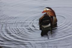 Mandarin birds swimming freely in the forest part. In Berlin national park Royalty Free Stock Photography