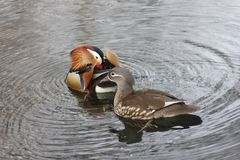 Mandarin birds swimming freely in the forest part. In Berlin national park Stock Photography