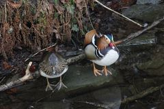 Mandarin birds swimming freely in the forest part. In Berlin national park Royalty Free Stock Image