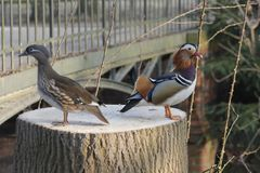 Mandarin birds swimming freely in the forest part. In Berlin national park Stock Images
