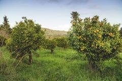 Mandarin bomen Stock Afbeeldingen