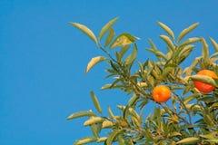 Mandarin boom Royalty-vrije Stock Afbeelding