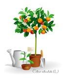 Mandarin boom in de pot Royalty-vrije Stock Afbeeldingen
