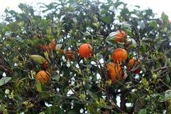 Mandarin boom met mandarijnen Stock Afbeelding