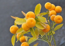 Mandarin branch. Cose-up of a branch with mature mandarins Stock Photo