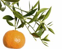 Mandarin branch. Mandarin fruit isolated on white Royalty Free Stock Photography