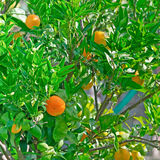 Mandarin branch. Close up of a mandarin plant Stock Image