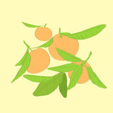 Mandarin cirus fruit with green leaves vector Royalty Free Stock Photo