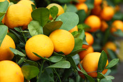 Mandarin close up Stock Photography