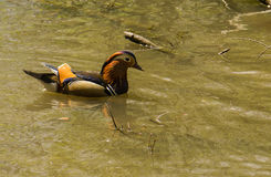 Mandarin Drake. Mandarin Duck(Aix galericulata) taken in a Park in South Devon UK Royalty Free Stock Photos