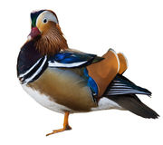Mandarin Duck Stock Image
