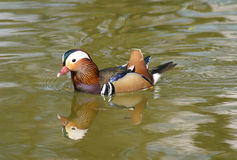Mandarin Duck. A Mandarin Duck swimming with reflection in water Royalty Free Stock Photos