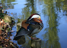 Mandarin duck Royalty Free Stock Image