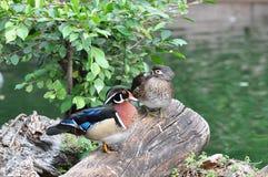 Mandarin Duck. A pair of Mandarin Duck Royalty Free Stock Images