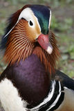 Mandarin duck. A beautiful duck at the Rombergpark, Dortmund, Germany royalty free stock photos