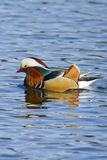 Mandarin duck. On the water with Reflection Royalty Free Stock Photos