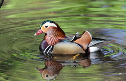 Mandarin duck. Royalty Free Stock Images