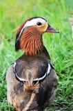 Mandarin duck Stock Image