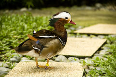 Mandarin duck Royalty Free Stock Images