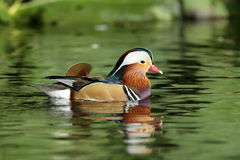 Mandarin duck. View of a male mandarin duck floating on green reflective water stock photos