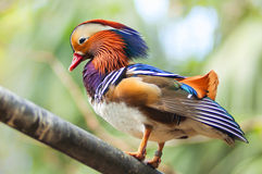 Mandarin duck. Colorful Mandarin duck on wood branch Royalty Free Stock Photo