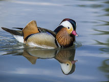 Mandarin duck. A male mandarin duck on the water Royalty Free Stock Photography