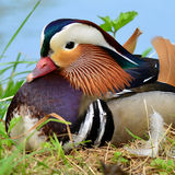 Mandarin duck. Male of mandarin duck in wedding dress Stock Image