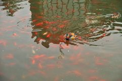 Mandarin duck. In the pond Royalty Free Stock Images