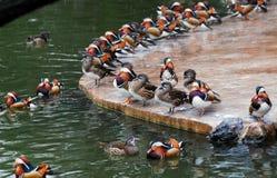 Mandarin duck. In ShangHai Zoo, China, I photoed this picture, so many mandarin ducks Stock Photos
