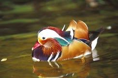 Free Mandarin Duck Royalty Free Stock Images - 52775629