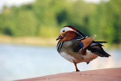 Mandarin Duck. Close up of colorful Mandarin Duck sitting near lake with one leg pulled in Stock Image
