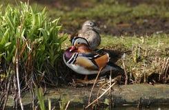 Mandarin Duck. A mandarin Duck royalty free stock image