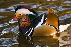 Mandarin Duck Stock Photography