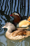 Mandarin duck. Beautiful mandarin ducks in a lake Stock Photo