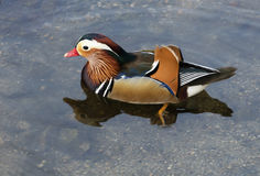 Free Mandarin Duck Royalty Free Stock Photography - 91478757