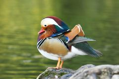 Mandarin Duck - Aix galericula. On bank of pond stock images